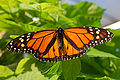 Monarch Butterfly Showy Male 3000px.jpg