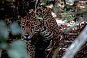 Obscured jaguar.jpg