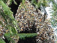 Monarchs overwintering Angangueo site in Mexico.jpg