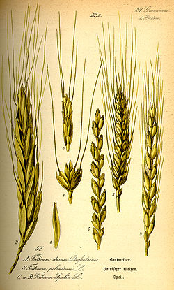 Illustration Triticum spelta0.jpg