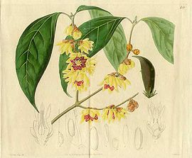 Japanese-All-spice-Calycanthus-praecox-Edwards-1826.jpg