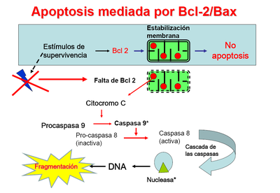 Apoptosisbcl.PNG